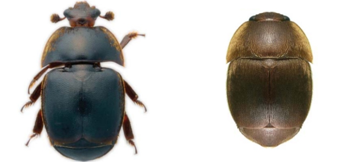 hive-beetle