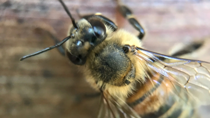 macro honey bee
